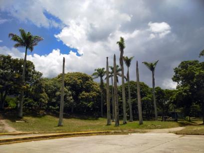 Chaguaramos dentro del parque que perdieron sus ramas. Foto Carlos Crespo.