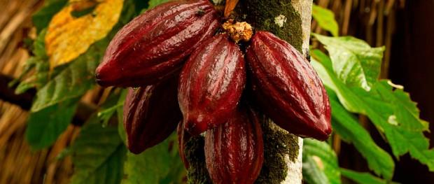cacao-nota