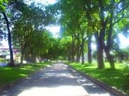 El brillo vegetal de la avenida Las Delicias, de Maracay. Foto IPC.